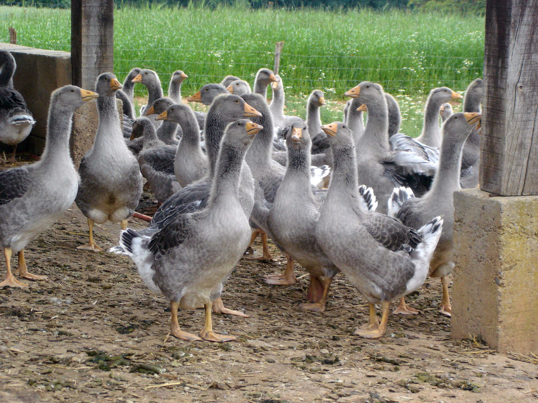 Farm Geese in Dordogne, France