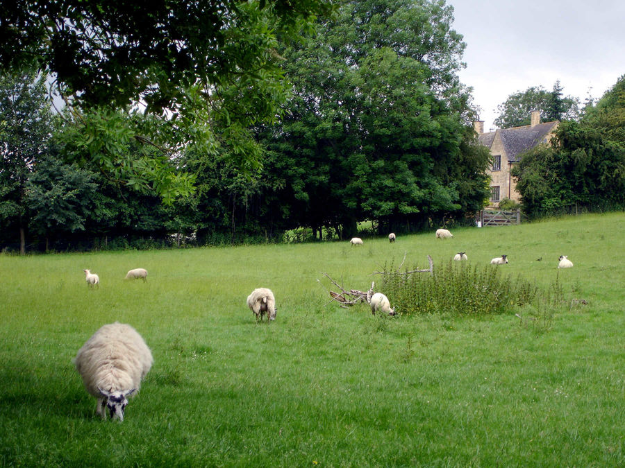 Sheep in Chipping Campden, England