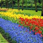 Flowers at Keukenhof, Lisse, Netherlands
