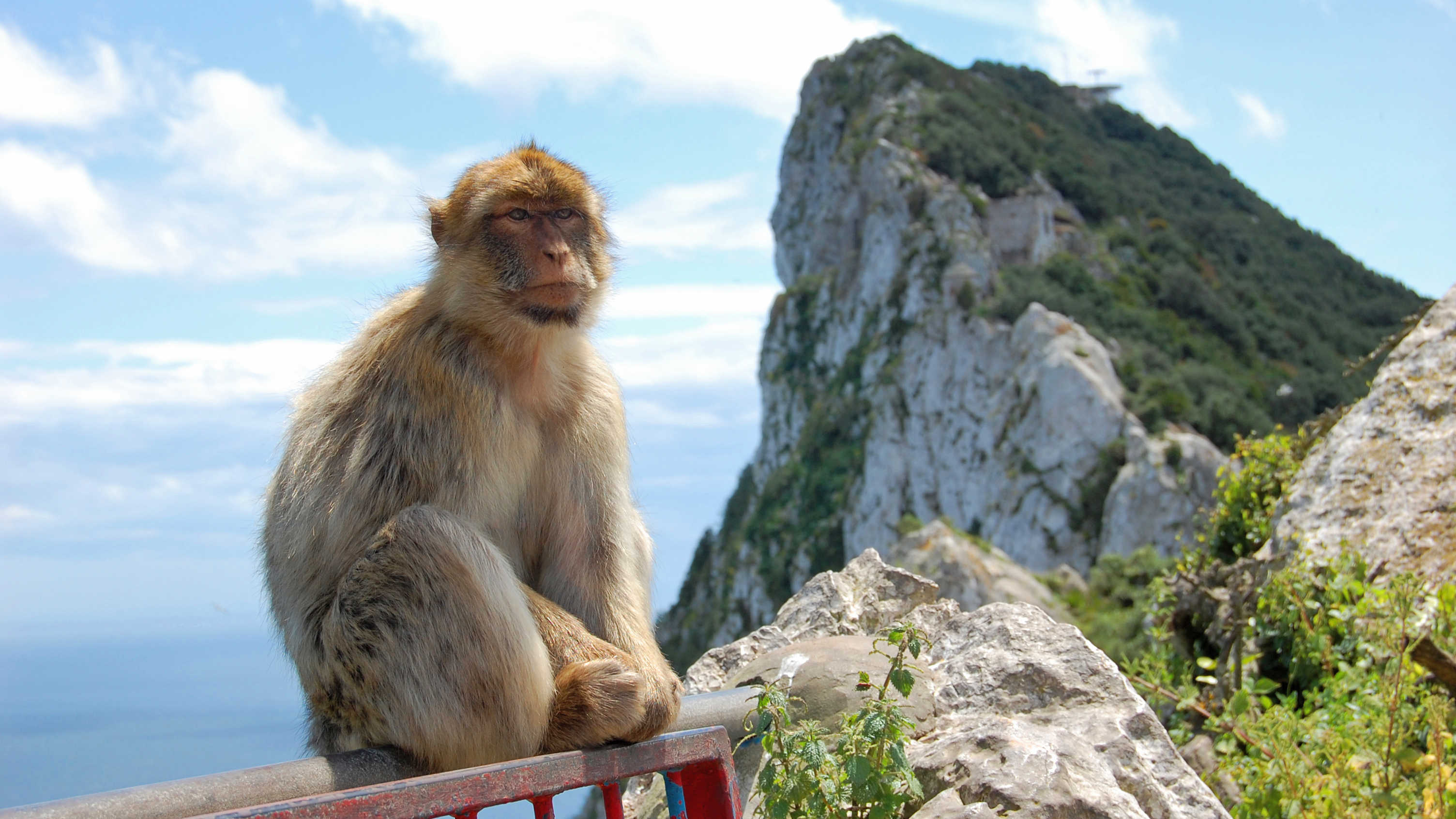 A monkey in Gibraltar