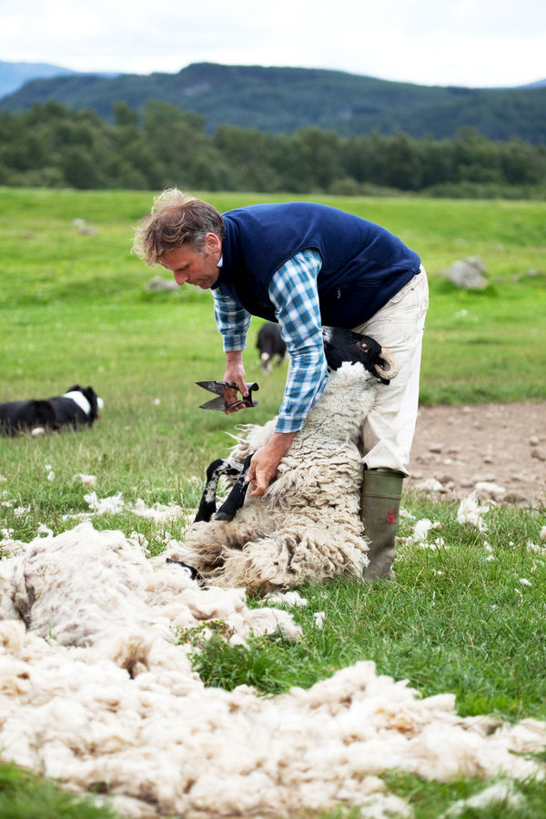 Sheep shearing at Leault Farm, Kincraig, Scotland