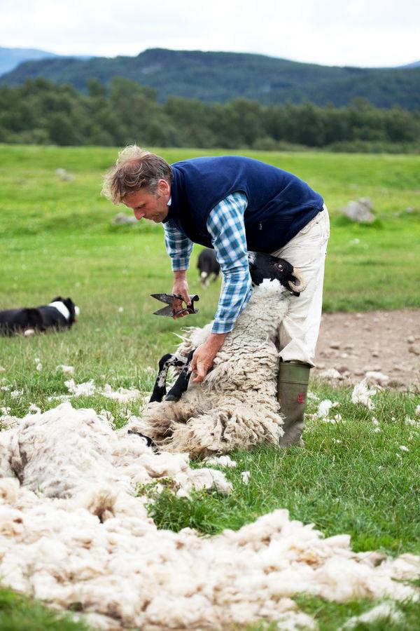 Sheep shearing at Leault Farm, Kincraig, Scotland