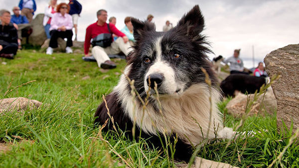 Sheepdog at Leault Farm, Kincraig, Scotland