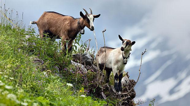Mountain goats, Berner Oberland, Switzerland