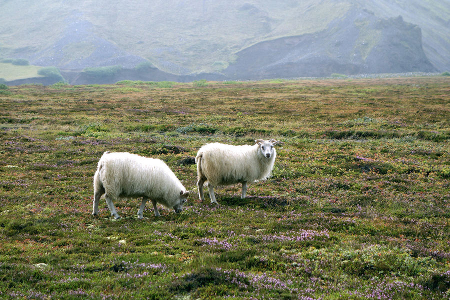 Sheep roaming near the South Coast of Iceland