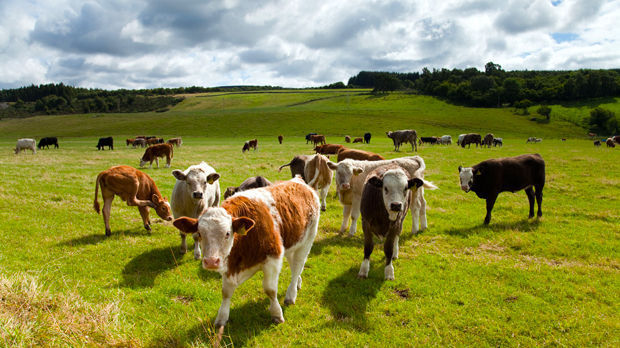 Cows and countryside near Inverness, Scotland