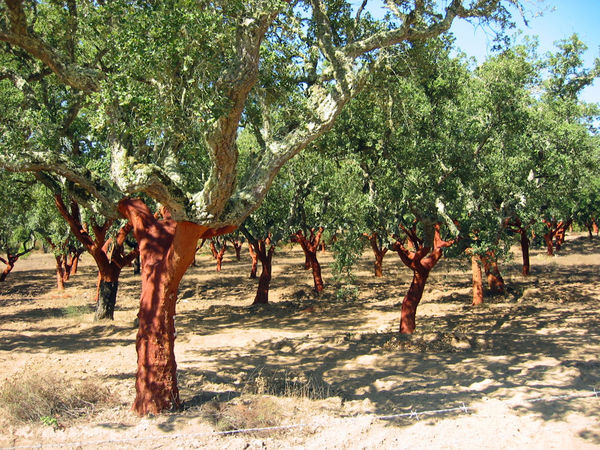Cork-tree orchard in Alentejo region, Portugal