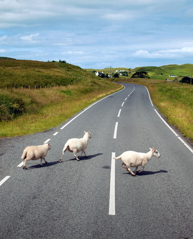 Sheep crossing, Isle of Skye, Scotland