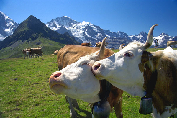 Friendly cows and Jungfrau peak, on the Männlichen–Kleine Scheidegg trail, Berner Oberland, Switzerland