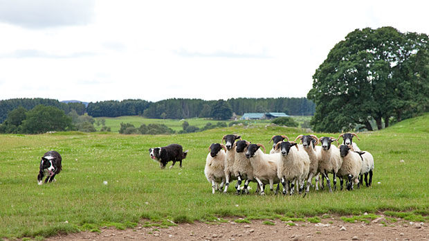 Sheepdog at work, Leault Farm, Kincraig, Scotland