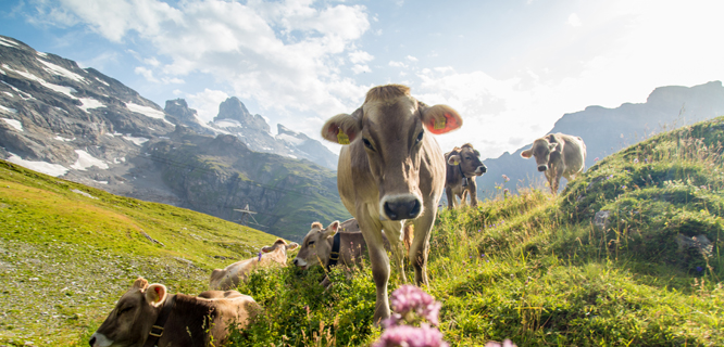 Cows in Engelberg, Switzerland