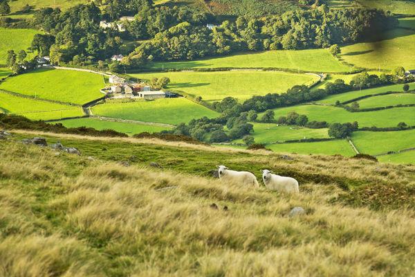 Pasture and sheep near Llanfairfechan, Wales