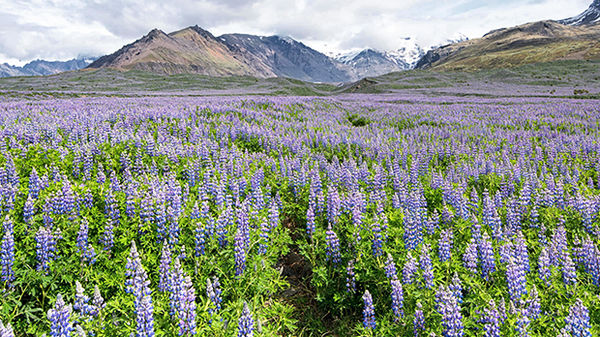 Lupines in Skaftafell National Park, Iceland