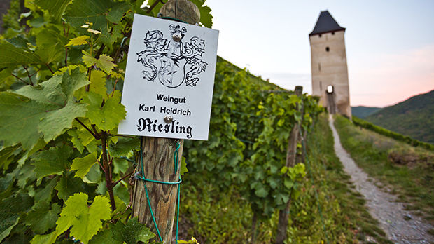 Riesling vines, Bacharach, Germany