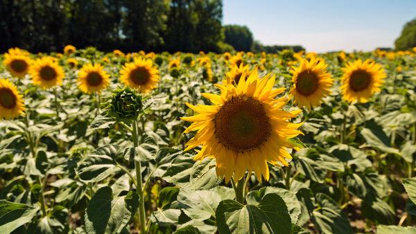 sunflower field in Loire Valley, France