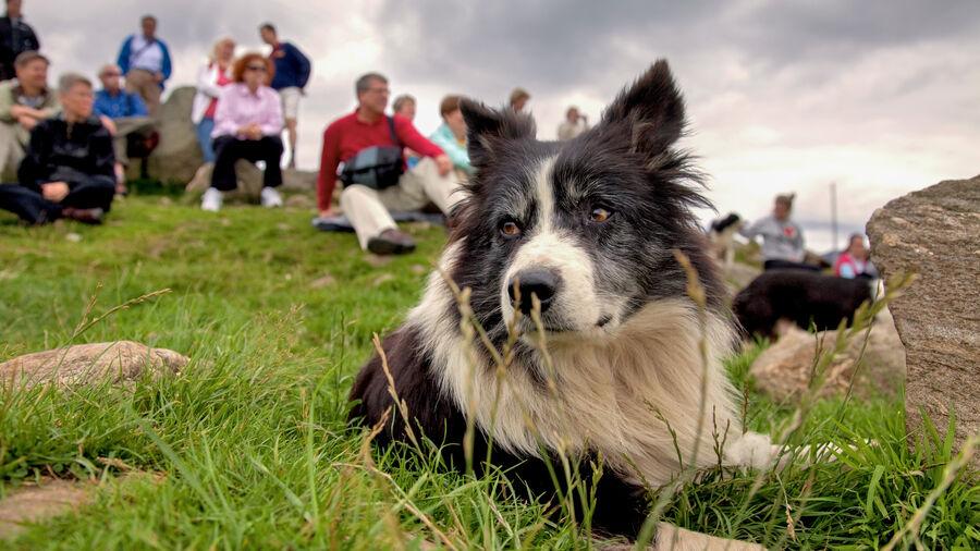 Sheepdog at Leault Farm, Kincraig